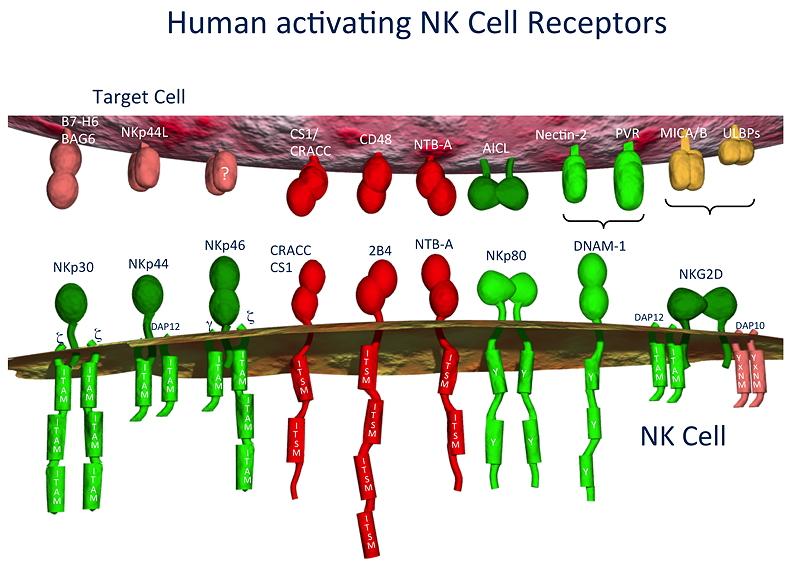 Die Aktivierung von NK Zellen wird durch eine Vielzahl unterschiedlicher Rezeptoren gesteuert.