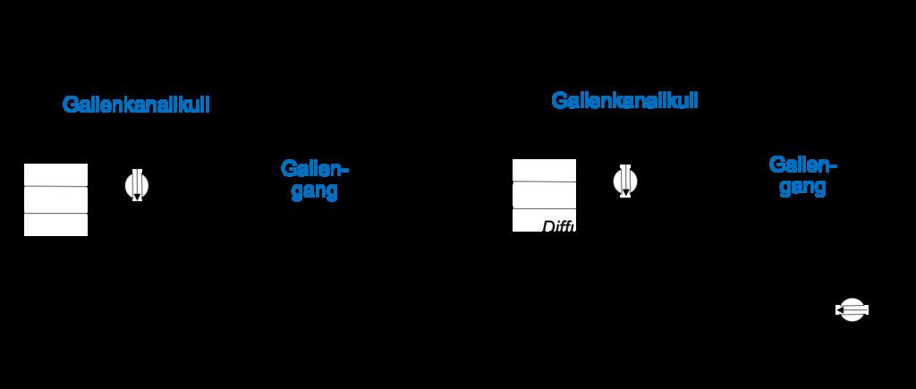 Abb. 1: Modelle der Leberfunktion: A. Osmotisches Modell. Gallensalze werden von den Hepatozyten in die Gallenkanälchen (Gallenkanalikuli) gepumpt und nehmen osmotisch Wasser mit, was zu Fluss (Advektion) führt. Entsprechend dem auf dem osmotischen Modell aufbauenden Zerial-Modell können durch den Fluss Drücke entstehen, die zu Lebererkrankungen beitragen. B. Diffusions-Fluss-Modell nach Vartak und Hengstler. Gallensalze werden in Gallenkanälchen gepumpt, wodurch dort höhere Konzentrationen entstehen. Anschließend diffundieren die Gallensalze hin zu den Gallengängen, entlang eines Konzentrationsgradienten. Erst in den Gallengängen wird Wasser durch Cholangiozyten in das Innere des Gangs gepumpt, sodass ein Fluss entsteht. Das Vartak-Hengstler Modell differenziert so zwischen einer Diffusions-dominierten und einer durch Fluss unterstützten funktionellen Domäne der Leber.