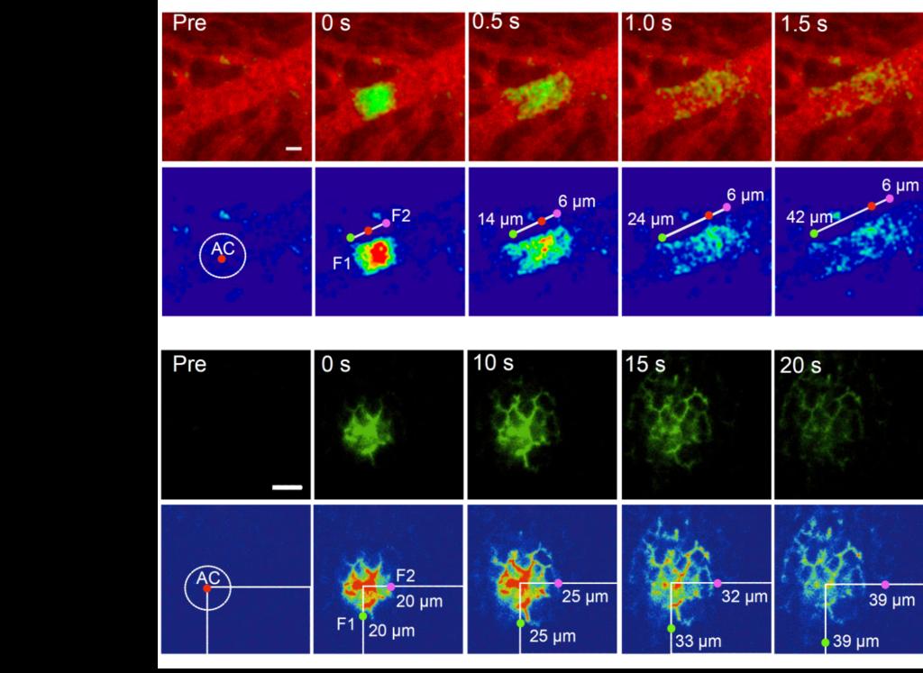 Abb. 2: Experimentelle Unterscheidung von Fluss und Diffusion in intakten Lebern der Maus: A. In einem Blutgefäß kommt es zu gerichtetem Transport einer photoaktivierten diagnostischen Substanz (CNMB-caged fluorescein). Durch lokale Bestrahlung beginnt der angezeigte Bereich grün zu leuchten und es kann beobachtet werden, wie er sich entlang des Blutgefäßes bewegt. B. Hingegen breitet sich das grün leuchtende Material in den Gallenkanälchen symmetrisch aus. Das ist typisch für Diffusion und schließt Fluss aus.