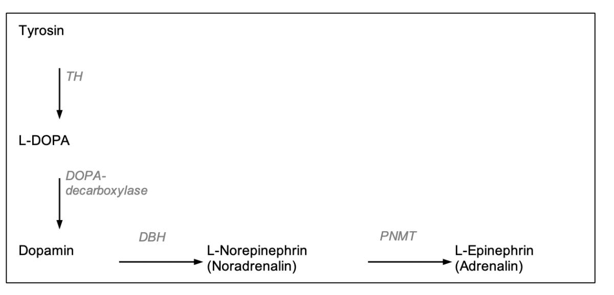 Sympathischer Nervenweg: Aus der Aminosäure Tyrosin können Dopamin, Noradrenalin und Adrenalin entstehen. Abbildung: Capellino/IfADo