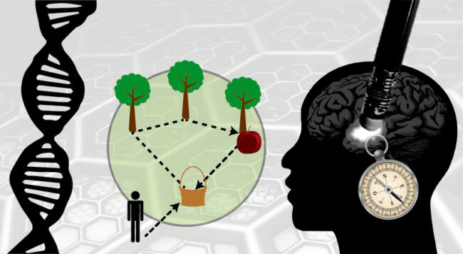Pfadintegration im Computerexperiment: Der Proband startet beim Korb und muss dann nacheinander verschiedene Orte, die durch Bäume markiert werden, ablaufen. Ist er am letzten Baum, der durch einen Apfel gekennzeichnet ist, angelangt, muss er den Weg zurück zum Korb finden, ohne dass dieser weiterhin sichtbar ist.