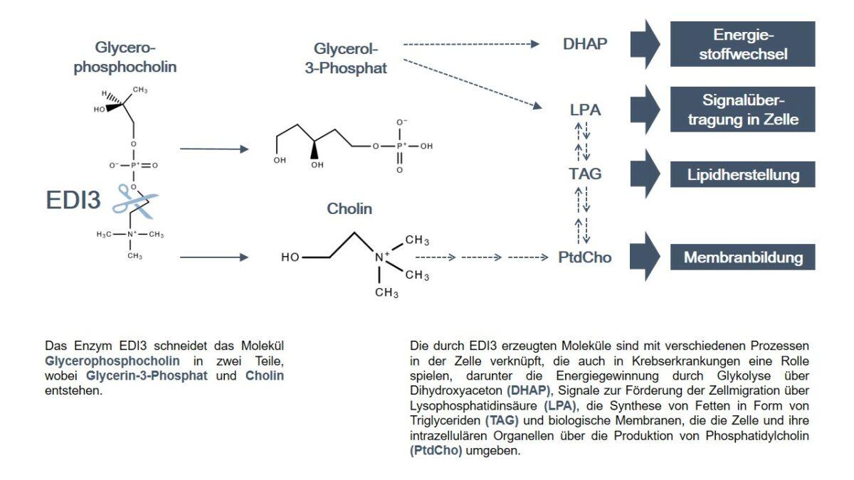 Beteiligte Stoffwechselwege von EDI3 in einer Übersichtsgrafik